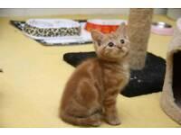 Marbeled ginger male kitten