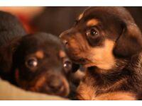 Minature Dachshund X Jack Russell - Daxy Jack puppies