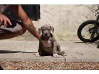 American Bully XL pup