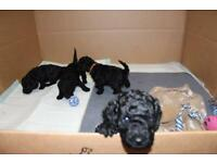 *SOLD* 2 Cockapoo Puppies *beautiful*