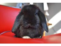 Beautiful well loved buck mini lop