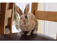 House Rabbit needing forever home
