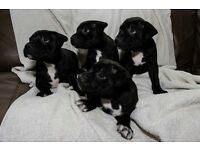 Staffy Puppies