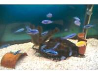 African Cichlids sale - Tank bred