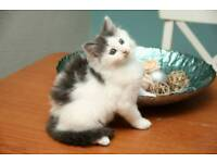 Grey Fluffy longahaired kittens