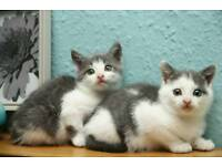 Grey and white kittens 8 weeks ready now