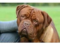 Dogue de bordeaux pups pup puppy dog
