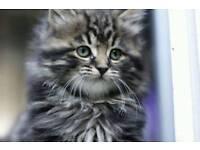 8 week PERSIAN kittens 😻😻 2 still available