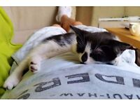 Black&White female kitten is looking for new home