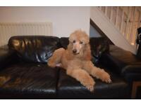 Standard poodle Red puppies