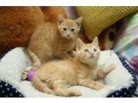 BSH cross Cute Kittens