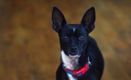 8yo male Chihuahua