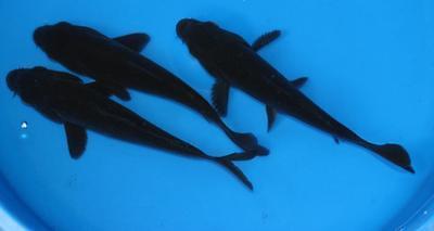 5-6 inch Live Black Koi for pond aquarium or fish tank