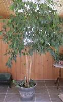 for sale 6 foot ornamental fig tree