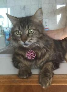 "Adult Female Cat - Domestic Long Hair - brown: ""Mystie"""