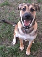 """Young Male Dog - Shepherd: """"Shep - pending"""""""