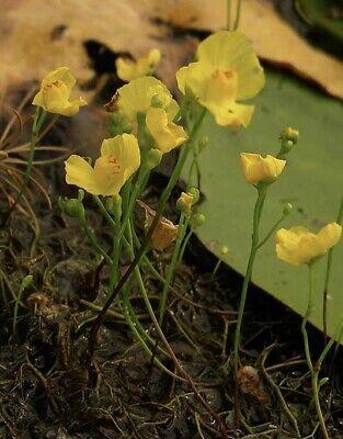 Pianta carnivora Utricularia gibba NO SEMI torba dionea fiori giardino laghetto