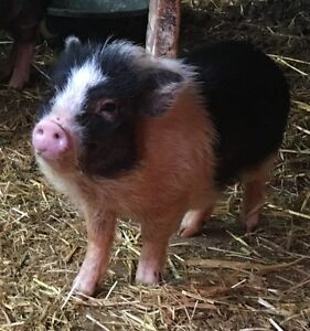 Mini Micro piglets pigs for sale