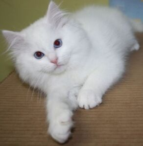Full white ragdoll RARE! PRICE ONLY FOR TODAY!