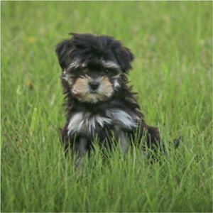 Puppies Havanese | Kijiji in Edmonton  - Buy, Sell & Save with