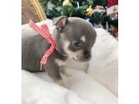 Adorable blue and tan chihuahua girl