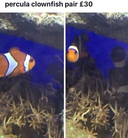 Pair clown fish