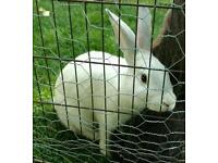 Rabbits, Rex, New Zealand.