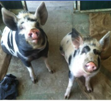 Wanted: Pig & horse rescue - unwanted animals & pets