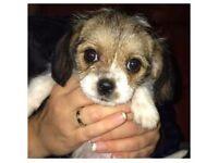 Bichon Westie Puppy For Sale