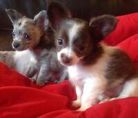 Chiots Chihuahua poils longs