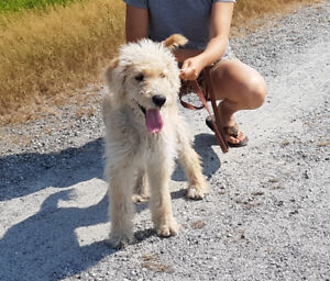 Beautiful 5 months old labradoodle for sale