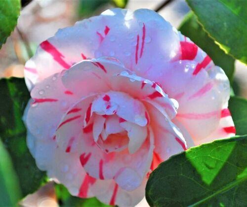 LA Peppermint Camellia Japonica - Live Plant - Quart Pot