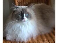Blue eyed rag doll cat