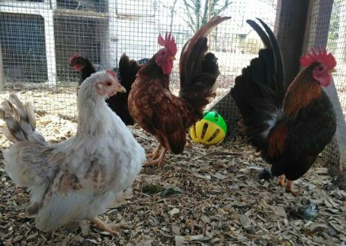 6 Hatching Eggs Serama Type A//B NPIP//AI