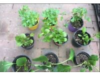 Bergenia, Hydrangea garden plants, £4 each
