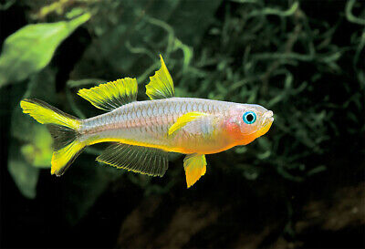 6 Forktail Rainbow Fish - Rainbow Fishes