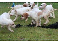 LAST FEW English Setter Pups for Sale
