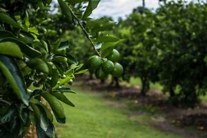 5 ACRE LIME FARM - IMMEDIATE INCOME POTENTIAL Delaneys Creek Moreton Area Preview