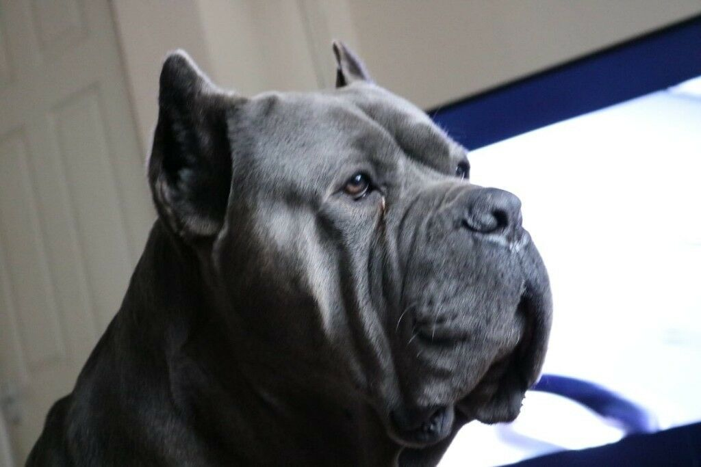 Blue Cane Corso Puppies In Bradford West Yorkshire Gumtree