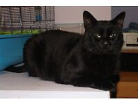 Found Male Black Cat NOT microchipped or neutured