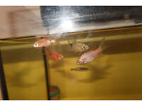 4 rosy barbs 1 cloud mountin minow and shrimp, cold water free to good home