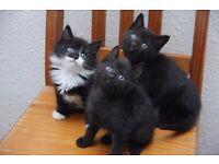 Kittens Fluffy and furry - 2 Full Black males LEFT