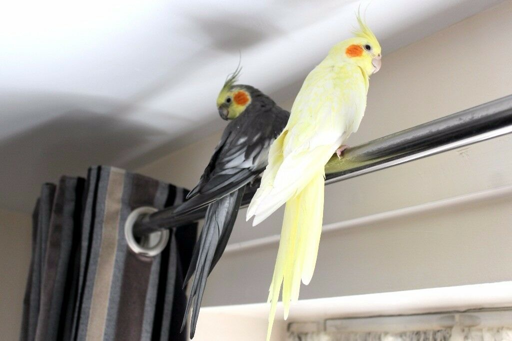 Beautiful Bonded Lutino Pearl and Pearl Pied Cockatiel Pair