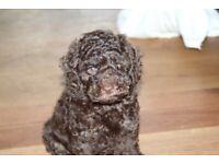 Health tested miniature poodle