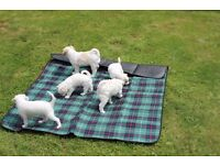 Beautiful rare Cava-chi-chon pups for sale - Lurgan