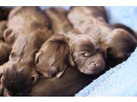 Spanador (Labrador x Cocker Spaniel) puppies x 7 for sale - Wonderful litter