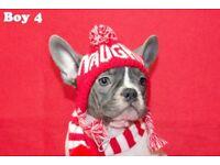 READY NOW KC reg blue french bulldog 16 weeks old