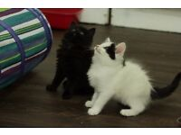 Very cute Ragdoll cross kittens *2 girls* 8 weeks
