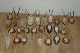 Natural Wild Roe Deer Antlers Taxidermy