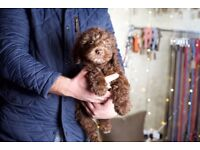 Sproodle puppy's forsale